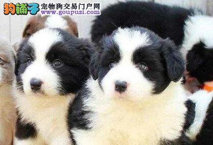 赛级品质纯种北京边境牧羊犬犬舍直销 毛色佳品相好