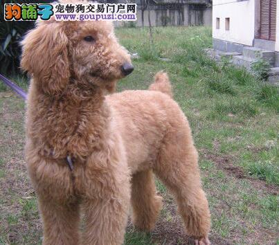 直销价格出售纯种贵宾犬 北京本市顾客可来犬舍看狗