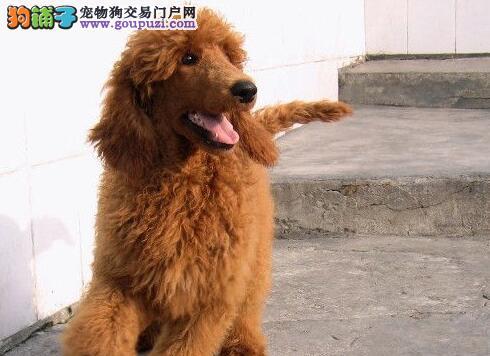 特惠价出售玩具型贵宾疫苗驱虫已做完上海买卖贵宾