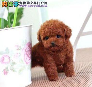 出售纯种泰迪幼犬 多色可选 可上门挑选 公母都有