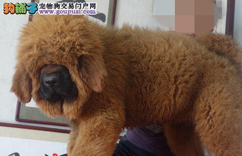 邵通市出售大狮头藏獒 高品质 血统纯正 可上门购买