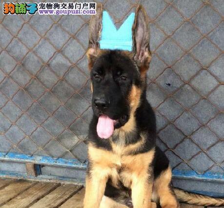 转让纯锤系血统的广州德国牧羊犬 我们可承诺售后三包