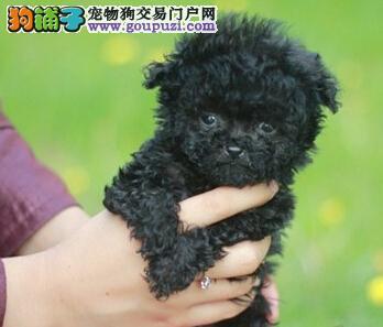精品纯种北京贵宾犬出售质量三包全国空运发货