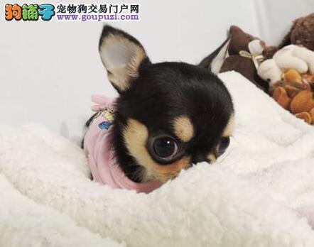 出售精力充沛体型娇小的吉娃娃幼犬 杭州市内免费送货