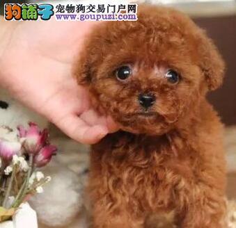 出售纯种杜高犬幼犬喜欢的联系保健康纯种