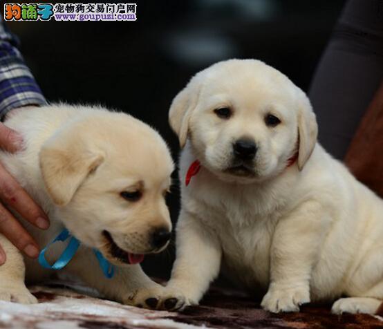 重庆售纯种健康拉拉犬拉布拉多神犬小七可视频看狗
