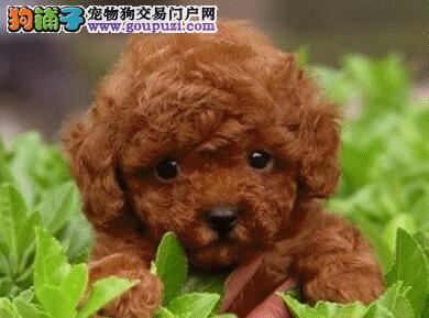 转让人见人爱花见花开的无锡贵宾犬 数量有限欲购从速