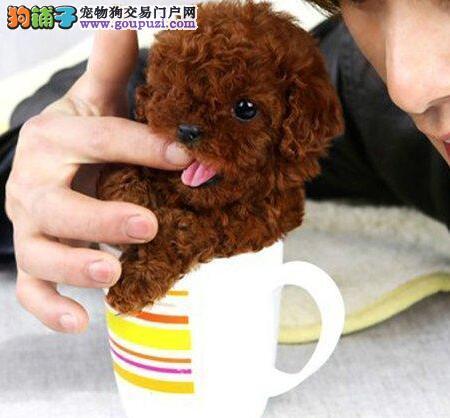 直销顶级贵宾犬 北京周边城市的客户可来养殖场挑选图片