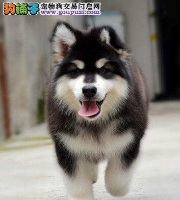 高大威猛巨型阿拉斯加雪橇犬 焦作犬舍专业出售 签协议