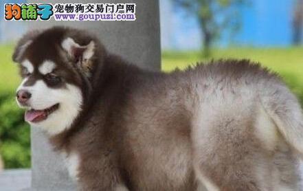 济南实体店面低价出售桃花脸的阿拉斯加犬 公母均有
