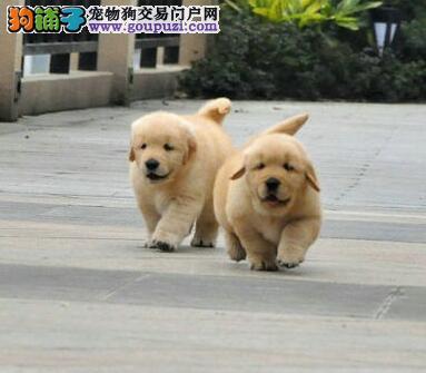 完美品相 售后态度好的杭州犬舍特价处理多只金毛犬