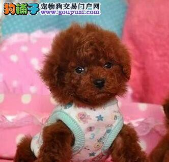 福州犬舍直销好品相的泰迪犬颜色多只可随意挑选图片