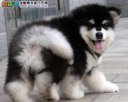 大骨架成都阿拉斯加雪橇犬热销中 建议当面看狗有保证