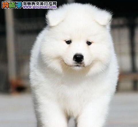 杭州狗场出售萨摩耶犬 骨骼粗毛量足购犬送狗粮图片