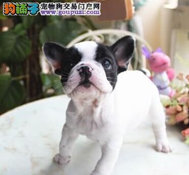 出售贵阳自家繁殖的斗牛犬 可刷卡可送货可签协议图片