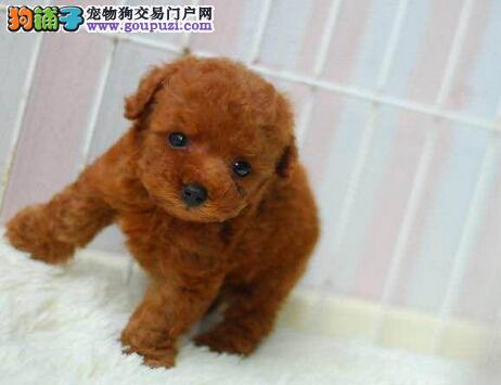 茶杯玩具血系的兰州泰迪犬找新主人 求爱狗人士收留