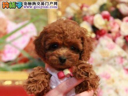 出售优质贵宾犬幼犬纯种健康 促销价格出售品相好