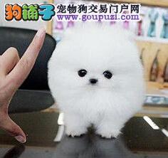 自家繁殖的福州博美犬低价出售包纯种健康可签协议图片