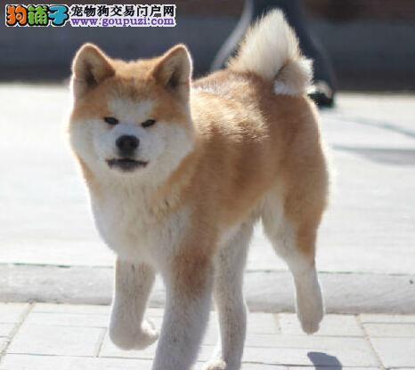 非常懂事的日本秋田犬 武汉待售中 很忠厚的家庭伴侣