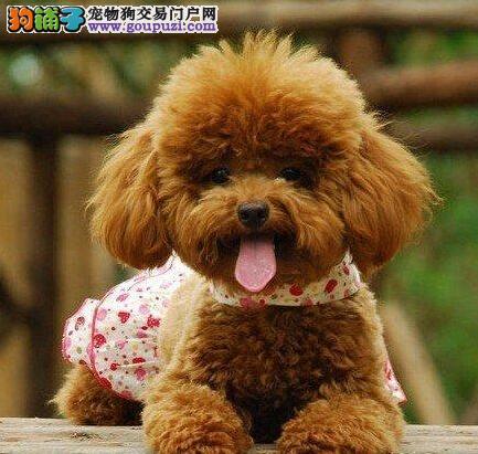 犬业出售品质优良血统纯正石家庄泰迪熊幼犬