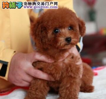 出售纯种萨摩幼犬欢迎爱犬人士前来选购图片
