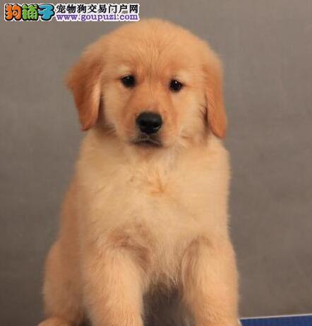 大毛量大头版的太原金毛犬找新主人 签订合法售后协议图片