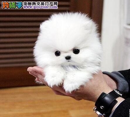石家庄家养哈多利球形博美幼犬 非常漂亮疫苗驱虫
