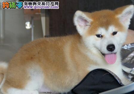 宁德专业的秋田犬犬舍终身保健康办理血统证书