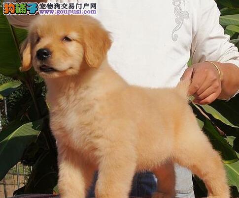 贵州美系金毛、疫苗已做齐、送狗上门挑选