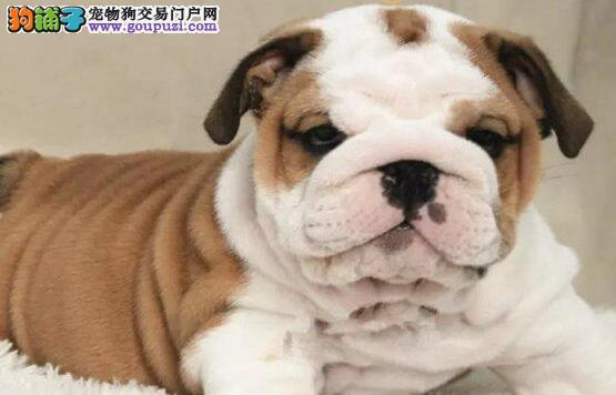 南京极品英国斗牛犬出售douniu犬保证纯种健康可上门