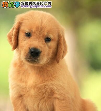 上海出售金毛犬 品质保证健康保证签订协议 微信视频