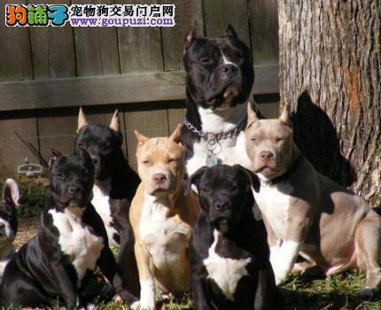 郑州出售优秀美国斗牛犬 品质高可签订合同有血统证书