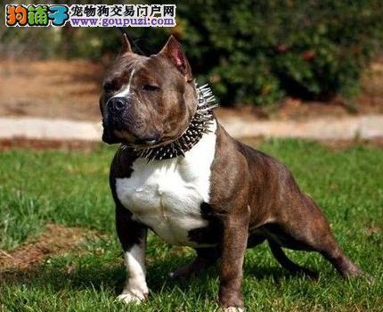 呼和浩特美国斗牛犬价格出售纯种美国斗牛犬幼犬已驱虫