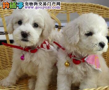 直销极品韩国血统贵宾犬 哈尔滨地区有实体店可来考察