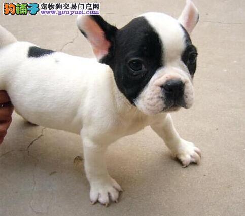 郑州实物拍摄纯种法国斗牛犬保证健康 可签署购犬协议