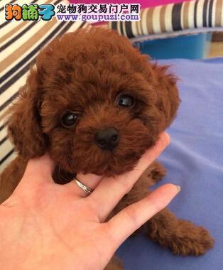 杭州大型犬舍出售纯种健康的泰迪犬 十分可爱 活泼乖巧