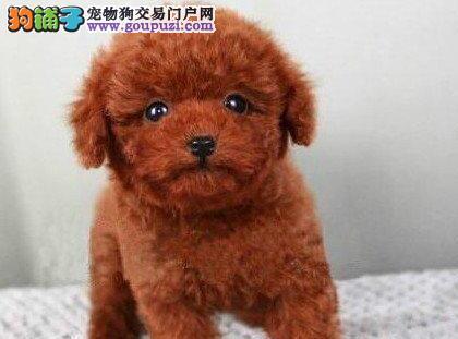 可爱纯种韩系泰迪犬特价转让中 来深圳犬舍购买可优惠