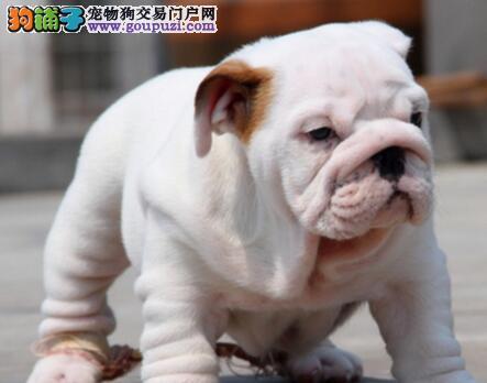 超低心动价郑州英国斗牛犬直销价格合理签合同包健康