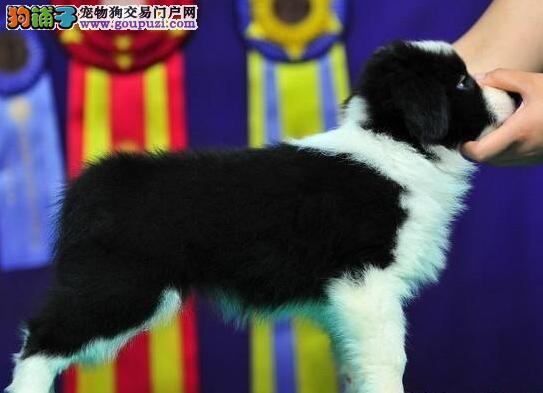 长沙售边境牧羊犬 边牧犬疫苗驱虫已做可视频看狗