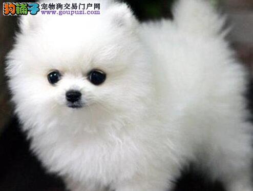 长沙纯种犬繁殖基地 长期出售纯种球体哈多利丽博美犬