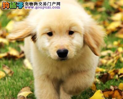 晋中出售纯种大头金毛犬幼犬 品相好健康有保障售后好