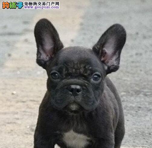 广州出售纯种法国斗牛幼犬 法斗保健康 可视频看狗