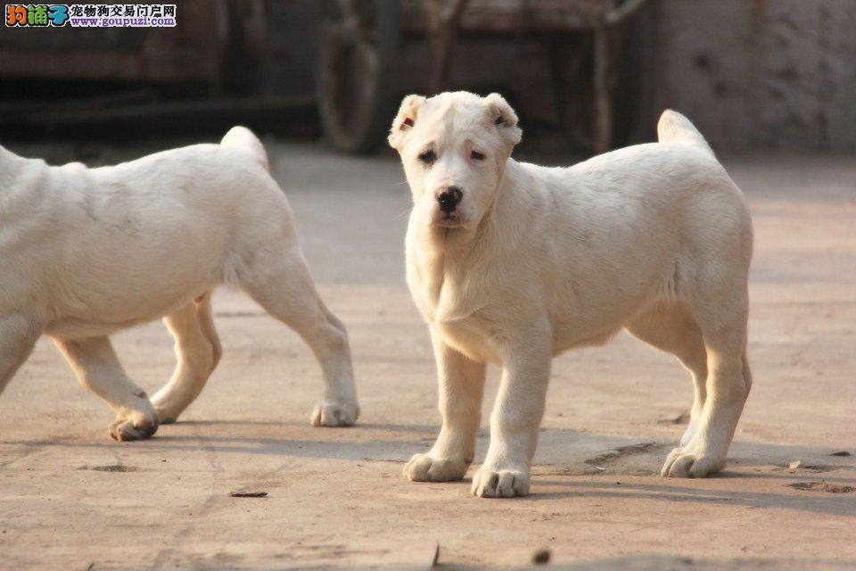 买中亚牧羊犬就到泉州大型犬舍 品种多总有你想要