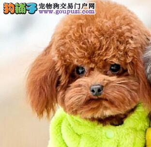 优秀品质杭州泰迪犬特价直销 血统纯正可办理血统证书