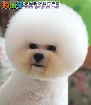长沙直销大眼睛甜美脸型比熊幼犬保纯种健康质保终身
