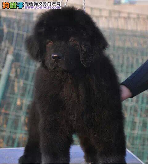 贵阳市出售纽芬兰犬 公母都有 可视频看狗 签售后协议