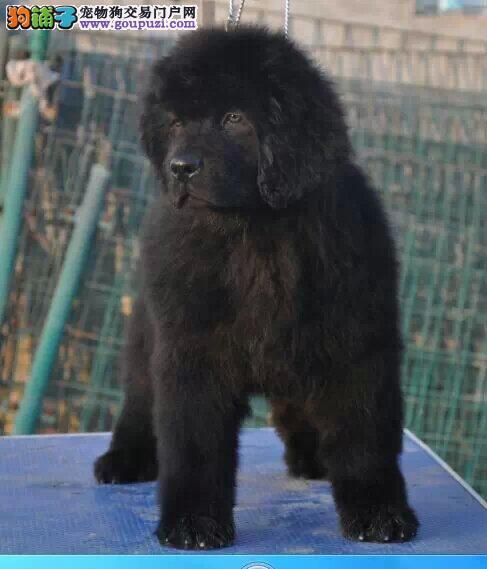 西宁市出售纽芬兰犬可视频看狗疫苗齐全纽芬兰犬价格