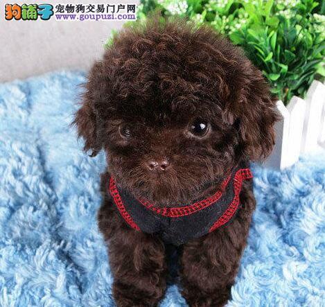 荆州直销小体型泰迪犬香槟色棕红色泰迪熊品相好保品质