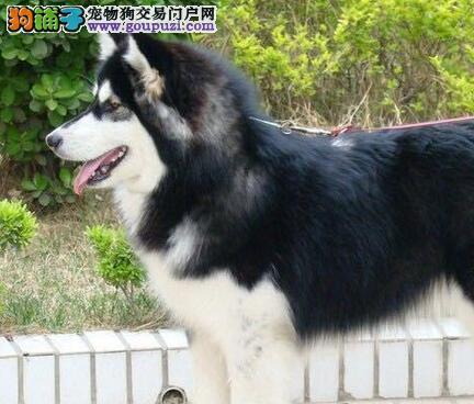 转让南昌阿拉斯加雪橇犬血统纯正 签署终身售后协议图片