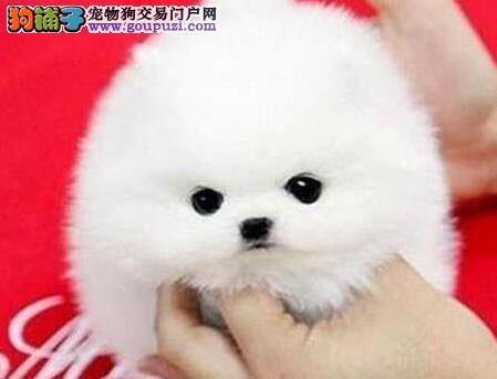 狗舍直销纯白色球型济南博美犬活泼可爱健康漂亮